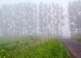 Windbreak In Fog 62373