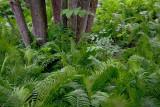 Tree Trunks In A Sea Of Ferns 62002