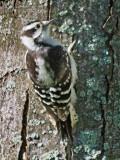 Downy Woodpecker 62801