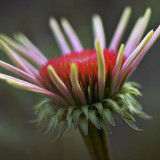 Young Coneflower 63139