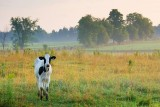 Little Cow At Dawn 63885