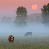 Cows In Misty Moonset 20070730