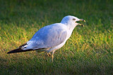 Mouthy Gull 64615