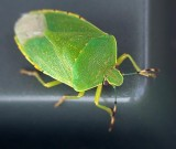 Green Stink Bug 64972