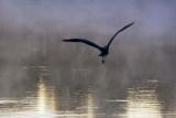 Skittish Heron 65288