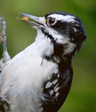 Hairy Woodpecker 65488