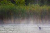 Early Morning Heron 66389