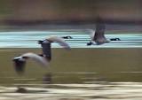Geese In Flight 20070903