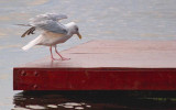 Gull On A Swimming Raft 64919