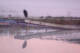 Heron On A Sinking Dock 66583