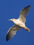 Gull In Flight 66744