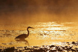 Heron Hunting At Sunrise 20070928