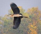Heron Flyby 68378