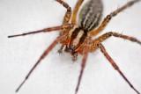 Wolf Spider 69015