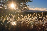 Backlit Tall Grass 68960