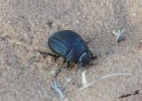 00099 - Beetle / Israel