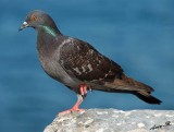 01367 - Feral Pigeon / Jaffa bay - Israel