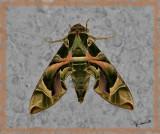 02331 - Moth (a giant one...) / Israel