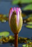 03884 - Lily / Royal-Gardens hotel garden - Eilat - Israel