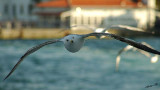 04235 - On your six... | Seagull / (on the way from) Princes island - Turkey