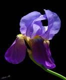 04485 - Iris... / Anadolo Kavaği - Turkey