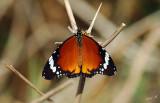 05020 - Butterfly / Crocodile river - Israel