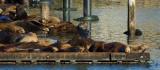 05134 - Sea lions / San-Francisco bay - CA - USA