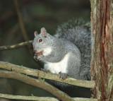 05454 - Western grey squirrel / Yosemite NP - CA - USA