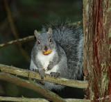 05458 - Western grey squirrel / Yosemite NP - CA - USA