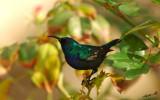 05597 - Hummingbird / Ganey-Tikva - Israel