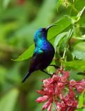 05615 - Hummingbird / Ganey-Tikva - Israel