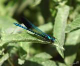 07078 - Calopteryx syriaca / Gamla - Israel
