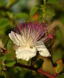 07243 - Common Caper / Gamla - Israel