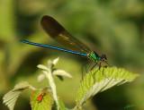 07312 - Calopteryx syriaca / Gamla - Israel