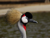 10901 - Crowned Crane / Safari zoo - Ramat-Gan - Israel