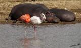 10921 - Shhh... everyone sleeping... | Hippopotamus & Flamingos / Safari zoo - Ramat-Gan - Israel