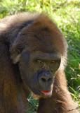 10989 - Gorilla / Safari zoo - Ramat-Gan - Israel
