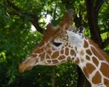 11008 - Giraffe / Safari zoo - Ramat-Gan - Israel