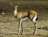 11023 - Bamby... ;-) | ? / Safari zoo - Ramat-Gan - Israel