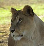 11033 - Lion / Safari zoo - Ramat-Gan - Israel