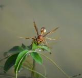 11516 - Wasp / Orange-river - South Africa