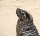 11702 - Cape Fur Seals / Cape Cross - Namibia