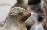 11716 - Cape Fur Seals / Cape Cross - Namibia