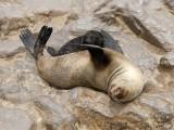11718 - Cape Fur Seals / Cape Cross - Namibia