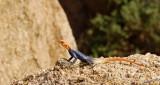 11732 - Red-headed Agama / Spizkoppe - Namibia
