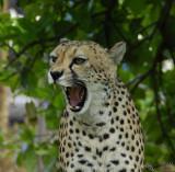 11871 - Cheetah / Cheetah park - Namibia
