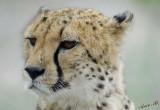 11960 - Cheetah / Cheetah park - Namibia