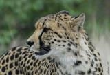 11974 - Cheetah / Cheetah park - Namibia