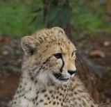 12043 - Cheetah cub / Cheetah park - Namibia