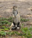 12080 - Squirrel / Etosha NP - Namibia